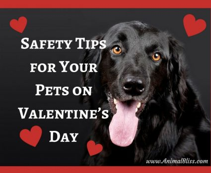 Safety Tips for Your Pets on Valentines Day infographic speaks of certain harmful, poisonous, even toxic substances to your pets