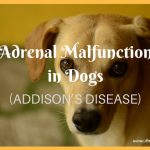 Adrenal Malfunction in Dogs – aka Addison's Disease