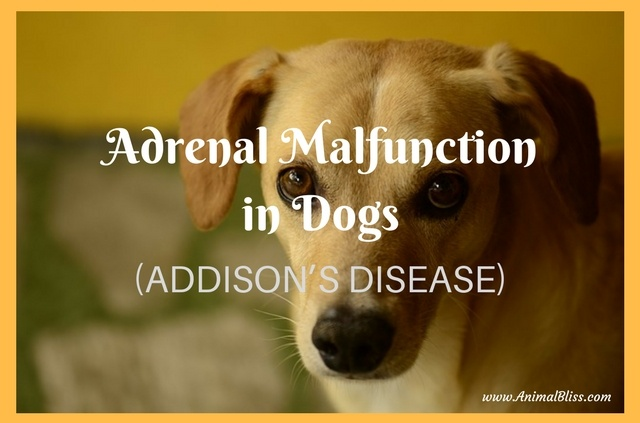 Adrenal Malfunction in Dogs - Addison's Disease