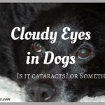 Cloudy Eyes in Dogs: Is it Cataracts or Something Else?