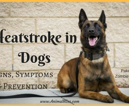 Heatstroke in Dogs: Signs, Symptoms and Prevention