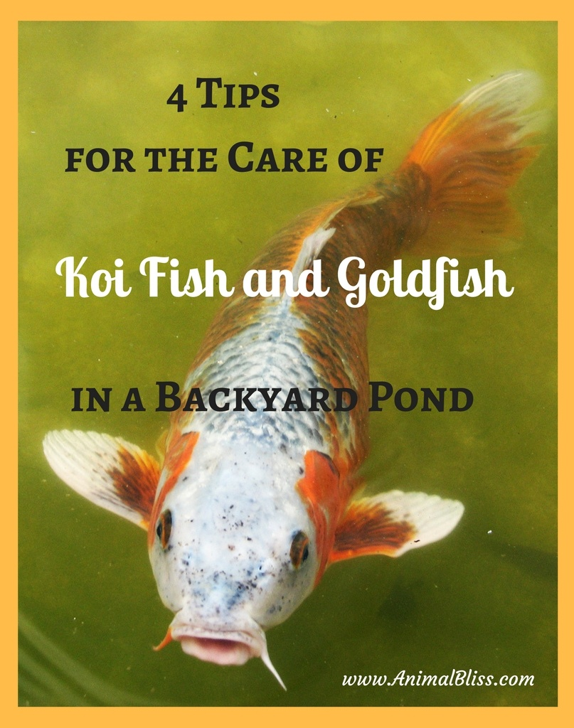 Caring for koi fish and goldfish in a backyard pond for Koi und goldfisch