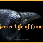 Secret Life of Crows [Infographic] – Intelligent Bird Species
