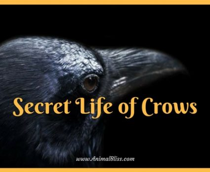 The Secret Life of Crows Infographic: Intelligent Birds