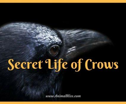 The Secret Life of Crows Infographic: Intelligent Birds