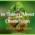 10 Things About Chameleons You Never Knew