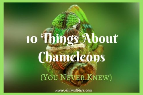 One of the things about chameleons everybody seems to know is that chameleons can change color to match the world around them. But these creatures are a lot more complicated and interesting than many people think. Here are a few fun facts.