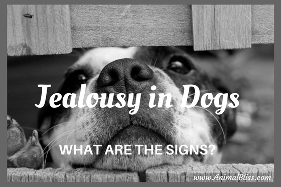 Learn the most frequent signs of jealousy in dogs and how to encourage acceptable behavior.