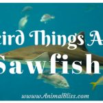 5 Weird Things About Sawfish, Sawfish Images and Video