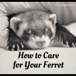 How to Care for Your Ferret – Pet Ferret Care Guide