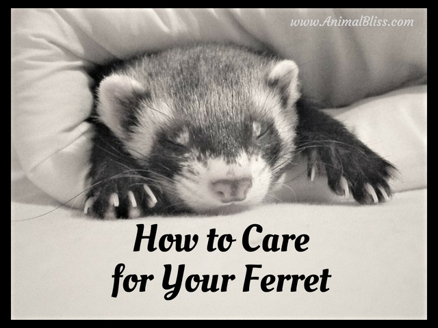 How to Care for Your Ferret - Pet Ferret Care Guide