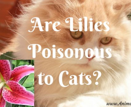 Are Lilies Poisonous to Cats? Can Lilies Kill Your Cat?