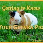 How to Care for Your Guinea Pig: Getting to Know Your Pet