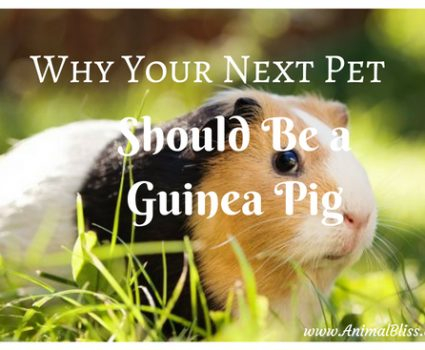 Why Your Next Pet Should Be a Guinea Pig