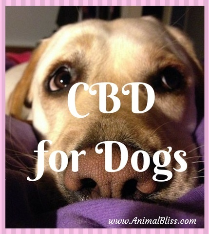 CBD for Dogs: A Natural Option for When Your Dog is in Pain