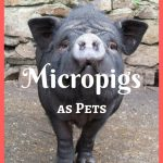 Micropigs as Pets – Do They Stay Small? 10 Important Facts to Know