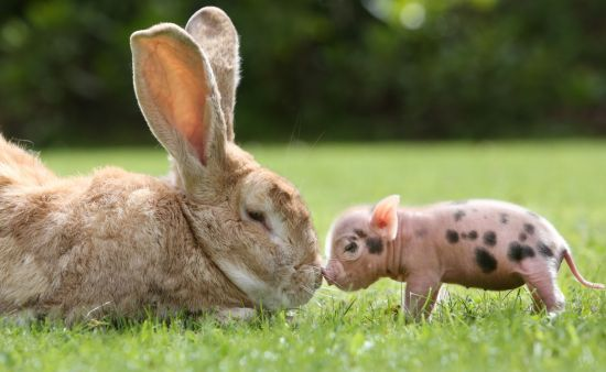 Micropigs as Pets, Do They Stay Small? 10 Important Facts