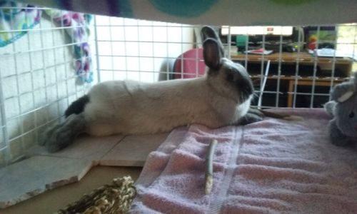 How to Build an Indoor Rabbit Enclosure