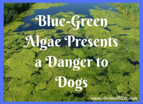 Blue Green Algae Presents a Danger to Dogs in the UK
