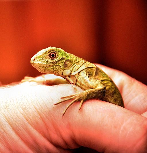 10 Fascinating Facts About Iguanas, Iguana Awareness Day 8th September