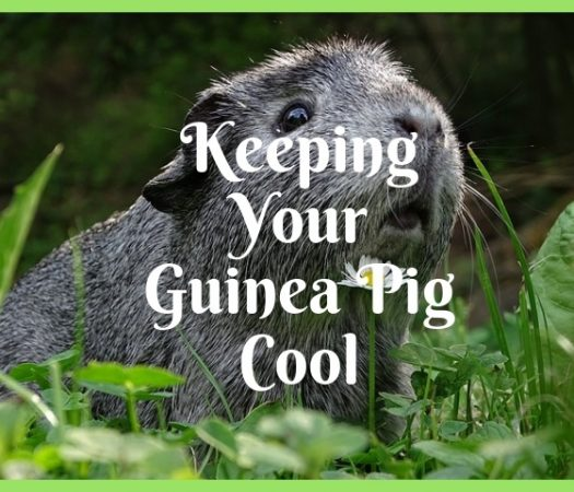 Top Tips To Keep Your Guinea Pig Cool During a Hot Spell