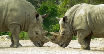 8 Interesting Facts About the Wild Rhinoceros