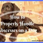 How to Properly Handle Abscesses on a Dog