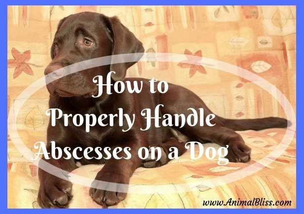 Wounded Puppies: How to Properly Handle Abscesses on a Dog