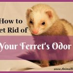 7 Ways to Get Rid of Your Ferret's Odor