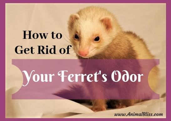 How to Get Rid of Your Ferret's Odor