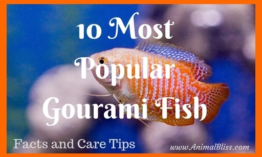 10 Most Popular Gourami Fish, Care Tips and Facts