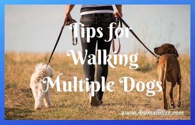 Tips for Walking Multiple Dogs