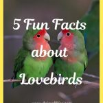 5 Fun Facts about Lovebirds: Most Popular Pet Parrot