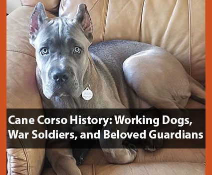 Cane Corso Breed History: Working Dogs, War Soldiers, Beloved Guardians