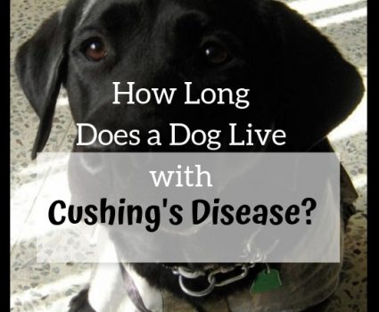 How Long Does a Dog Live with Cushing's Disease?