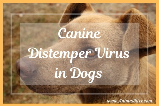 Canine Distemper Virus in Dogs: Signs, Diagnosis, Treatment