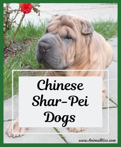 Chinese Shar-Pei Dogs / Shar-Pei Dog Breed Information