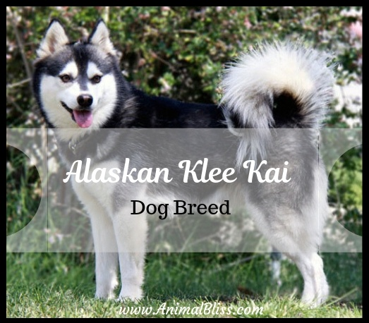 Alaskan Klee Kai Dog Breed Facts