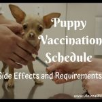 Puppy Vaccination Schedule, Side Effects, & Requirements