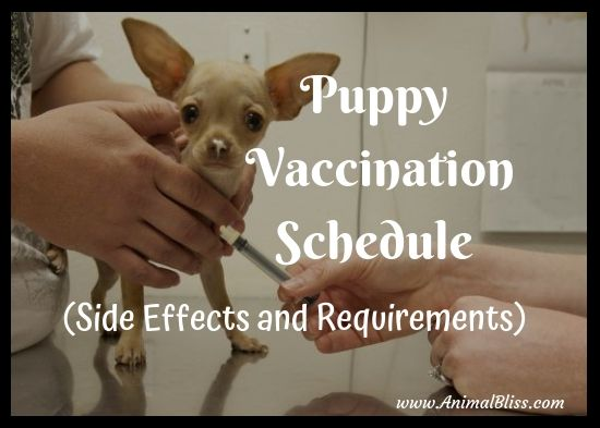 Puppy Vaccination Schedule, Side Effects, Requirements