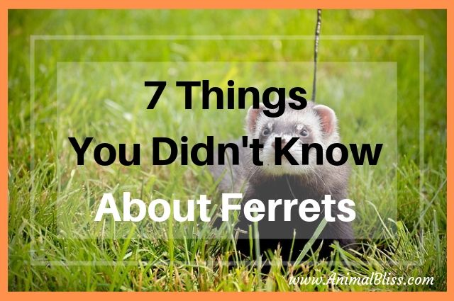7 Things You Did Not Know About Ferrets