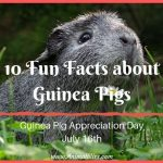 Guinea Pig Appreciation Day – 10 Fun Facts about Guinea Pigs