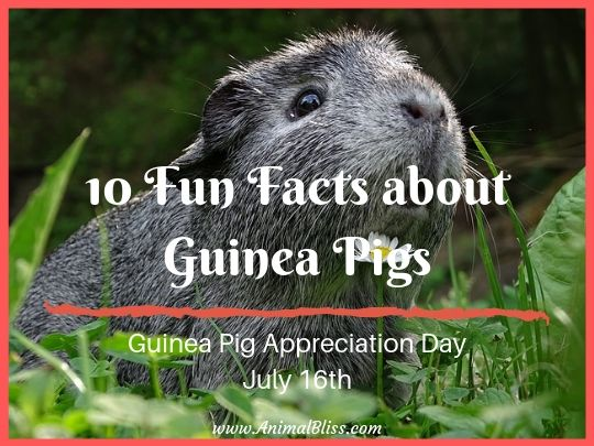 Guinea Pig Appreciation Day - 10 Fun Facts about Guinea Pigs
