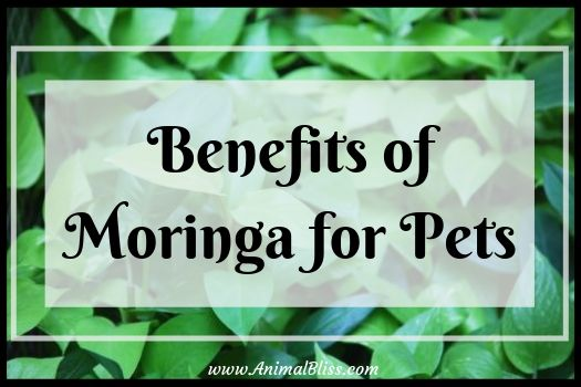Benefits of Moringa for Pets - Alternative Healing