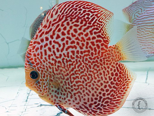 Freshwater Discus Fish Facts: Tropical Fish