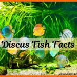 Freshwater Discus Fish Facts