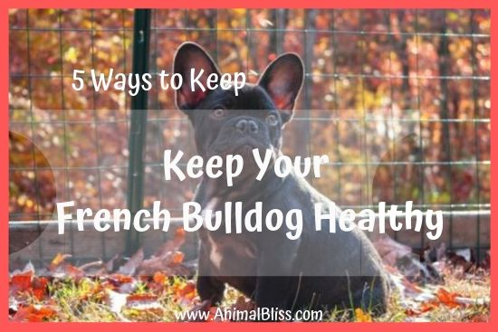 5 Ways to Keep Your French Bulldog Healthy and Happy