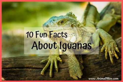 10 fun facts about iguanas you didn't know.