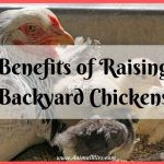 Benefits of Raising Backyard Chickens