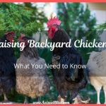 Raising Backyard Chickens – What You Need to Know
